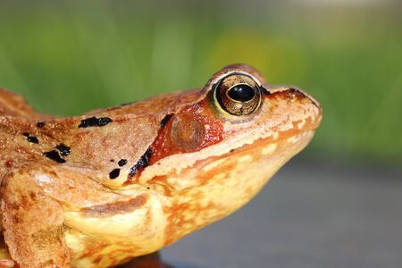 common european frog profile view ( Rana temporaria )