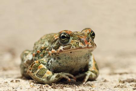 colorful Bufotes viridis closeup, the european common green toad