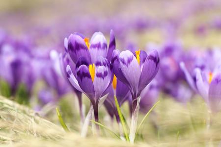 carpathians: closeup of wild saffron flowers ( Crocus sativus ) growing on mountain meadow