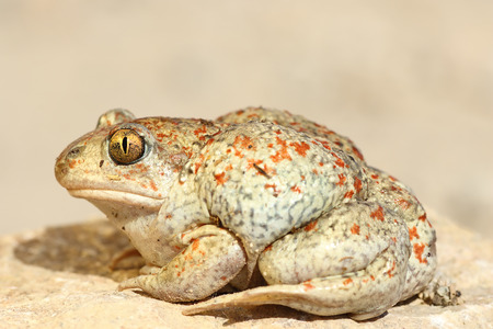 colorful garlic toad standing on the ground ( Pelobates fuscus ) Stock Photo