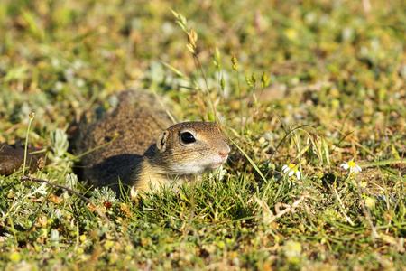 cute european ground squirrel in natural habitat, closeup oj juvenile animal ( Spermophilus citellus ) Stock Photo
