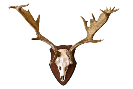 fallow deer stag isolated hunting trophy, large male Dama on white background, beautiful antlers