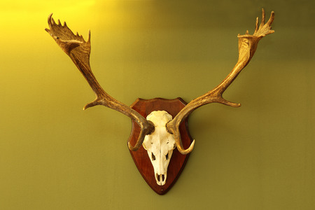 herbivores: fallow deer hunting trophy mounted on wall in warm light ( Dama )