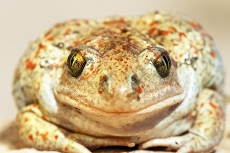 garlic toad beautiful portrait, wild animal looking at the camera ( Pelobates fuscus, common spadefoot toad )