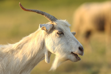 white male goat portrait over out of focus background ( Capra hircus ) Stock Photo