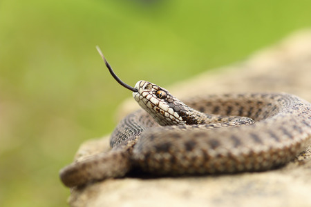 aggressive hungarian meadow viper tasting the air with its tongue ( Vipera ursinii rakosiensis from Transylvania, listed as endangered by IUCN ) Banco de Imagens