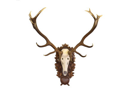 beautiful Cervus elaphus ( red deer buck ) hunting trophy isolated on white background Stock Photo