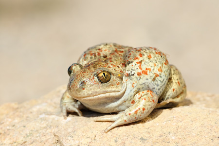 close up of common spadefoot toad ( Pelobates fuscus ) Stock Photo