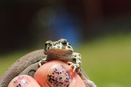 cute european green toad standing on woman foot ( Bufotes viridis ) Stock Photo