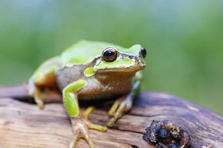 cute green european tree frog standing on a stump ( Hyla arborea )