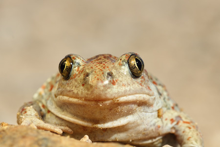 (Pelobates fuscus) カメラ目線かわいいスキアシガエルの肖像画 写真素材