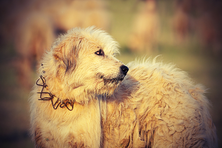 white romanian sheep hound close up, image taken near the traditional farm; these dogs fight with bears and wolves to protect the herd Stock Photo