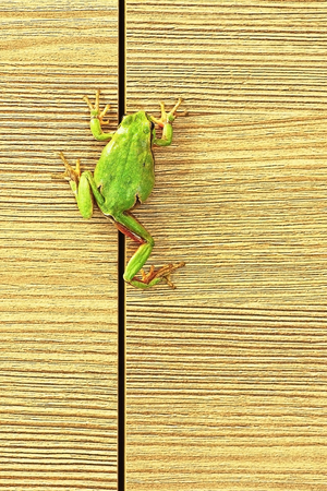 tiny frog: european green tree frog climbing on furniture ( Hyla arborea ); this cute frogs are common in the gardens so they enter the houses sometimes Stock Photo