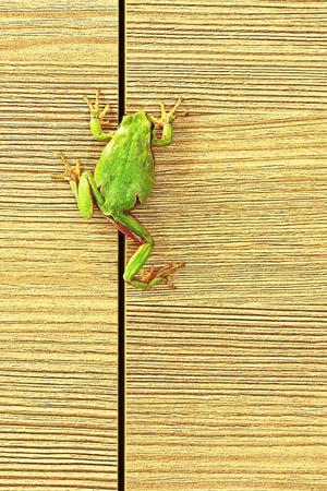 principe rana: rana verde europea escalada en muebles (Hyla arborea); estas lindas ranas son comunes en los jardines por lo que entran en las casas a veces