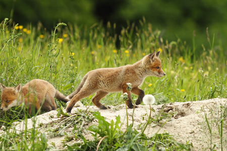 wild red fox puppy playing near the den ( Vulpes ) Stock Photo