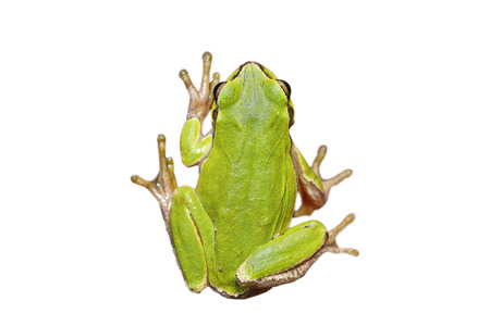 cute european green tree frog isolated over white background, full length wild animal for your design ( Hyla arborea ) Stock Photo