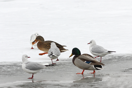 hungry wild birds foraging for food in winter, walking on frozen river ( Anas platyrhynchos, mallard duck and different gulls ) Stock Photo
