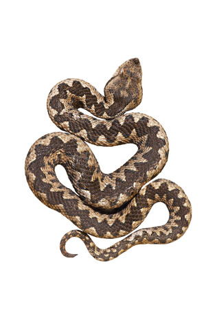 isolated nosed viper, Vipera ammodytes or the long horn adder, one of the most dangerous european snakes; isolation over white background for your design