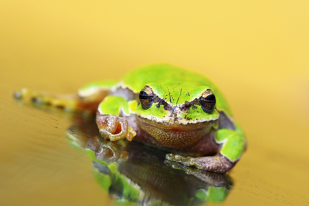 equilibrium: european green tree frog on glass ( Hyla arborea )