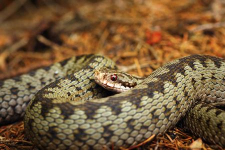beautiful closeup of european crossed viper ( Vipera berus ) Stock Photo