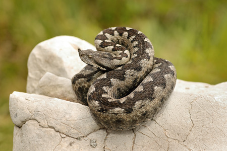 beautiful pattern on Vipera ammodytes, european venomous snake basking on a limestone rock 版權商用圖片 - 85008874