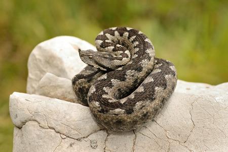Vipera ammodytes の美しいパターン、ヨーロッパの有毒ヘビは石灰岩の岩を浴びます