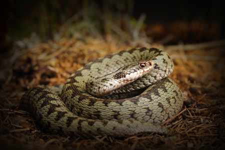 european crossed viper, snake standing on forest ground ( Vipera berus )