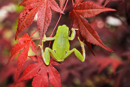 green tree frog climbing on japanese maple in a botanical garden ( Hyla arborea )