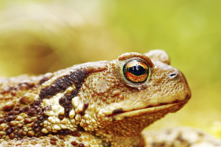 macro image of common brown toad head ( Bufo ), background with bokeh