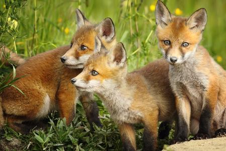 Europese rode vos broers staan samen in de buurt van de den (Vulpes)