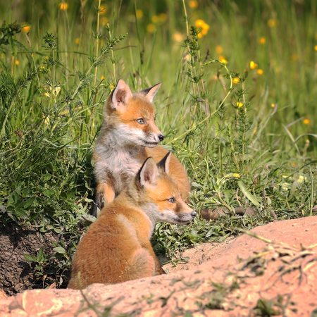canid: fox cubs near the burrow in spring ( Vulpes )