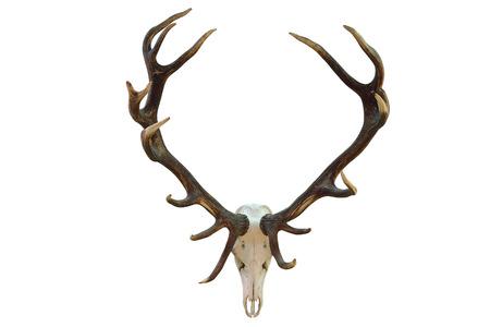 huge red deer hunting trophy isolated over white background ( Cervus elaphus )