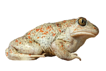 isolated full length Pelobates fuscus, the spedefoot or garlic toad Stock Photo