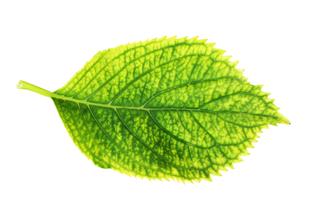 green hortensia leaf isolated over white background for your design