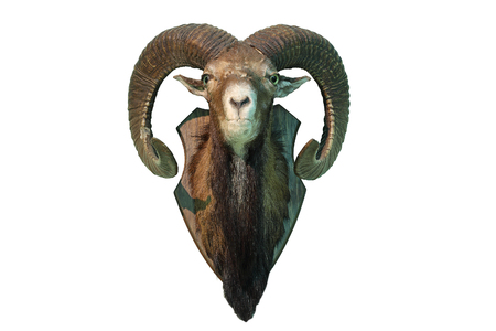 mouflon hunting trophy isolated over white background, full length head, taxidermy ( Ovis orientalis ) 스톡 콘텐츠