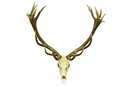cervus: red deer hunting trophy with large antlers, isolation over white background ( Cervus elaphus )