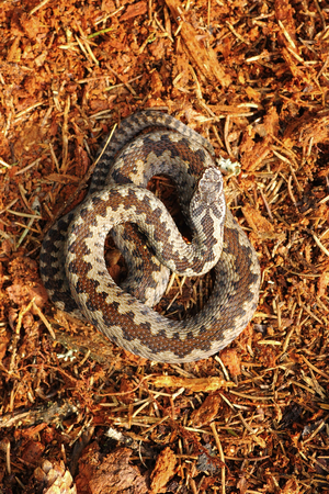 Vipera berus standing on forest ground, the common european crossed adder, venomous snake