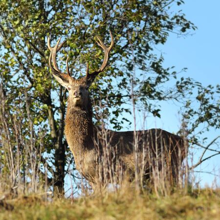 towards: wild red deer stag looking towards the camera ( Cervus elaphus ) Stock Photo