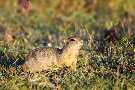 spotted fur: european ground squirrel in natural habitat ( Spermophilus citellus ), on IUCN red list Stock Photo