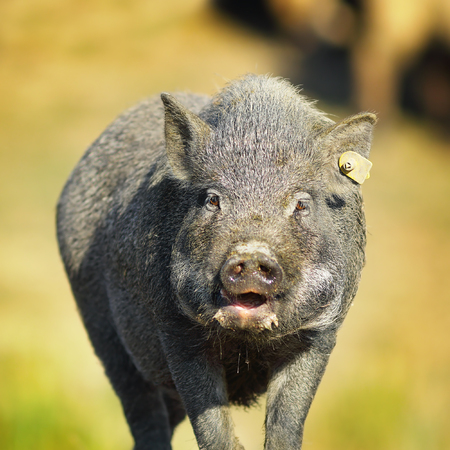 portrait of vietnamese pig near the farm, out of focus background ( Sus scrofa ) Stock Photo