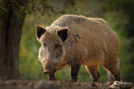 huge wild boar coming towards the camera ( Sus scrofa ); these european wild animals can be dangerous when with youngsters or when they are scarred Stock Photo