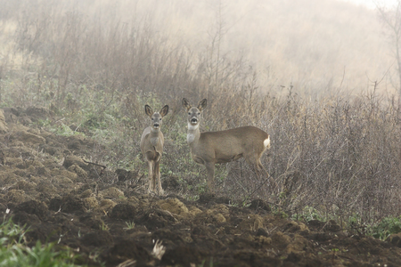 Roe deer doe with calf in foggy autumn morning, wild animals in natural habitat