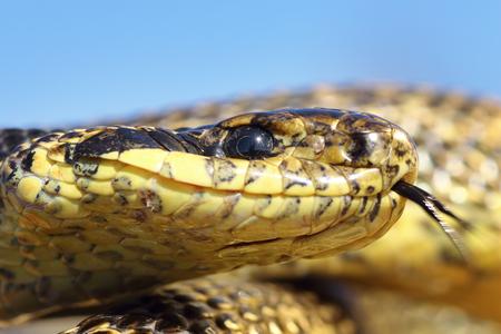 macro portrait of blotched snake ( Elaphe sauromates ), wild reptile photographed in natural habitat, Dobrogea, Romania