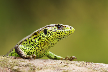 portrait of curious sand lizard on a wooden stump ( Lacerta agilis ); wild reptile basking in natural habitat Stock Photo