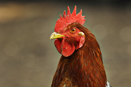 portrait of colorful hen over brown out of focus background; image taken at the bio farm, on free bird Stock Photo