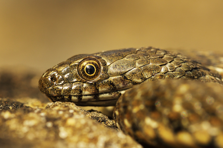 juvenile dice snake portrait ( Natrix tessellata )
