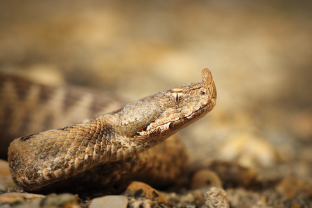 macro shot of Vipera ammodytes montandoni, the nose horned viper, juvenile