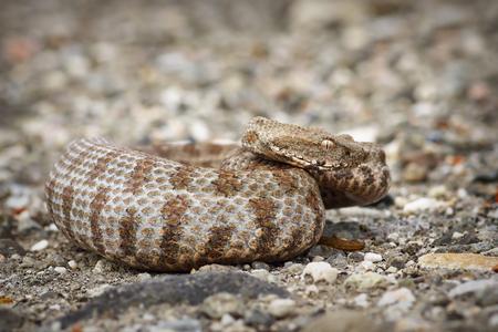 beautiful Milos viper, the rarest snake in Europe ( Macrovipera lebetina schweizeri )