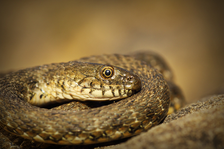 close up of dice snake ( Natrix tessellata )