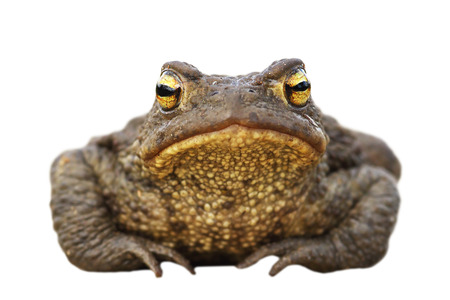 isolated brown toad front view ( Bufo bufo ), full length wild animal Stock Photo